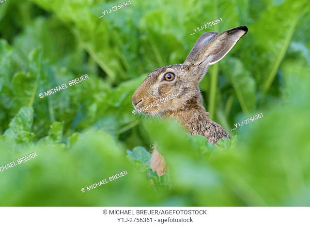 European Brown Hare (Lepus europaeus) in sugar beet field, Summer, Hesse, Germany, Europe