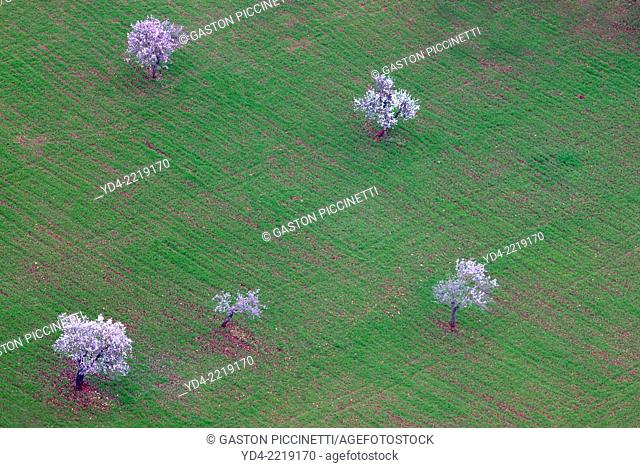 Aerial view of almond tree in flowers in the farm land, Mallorca lands, Balearic Island, Spain