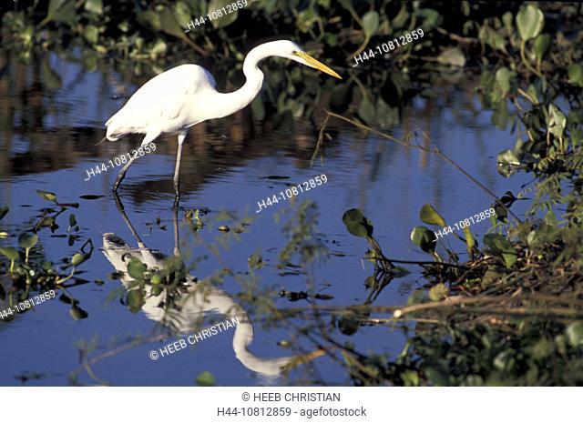 Great White Egret, Egretta alba, Pantanal, South of Cuiaba, Mato Grosso, Brazil, South America, animal, bird