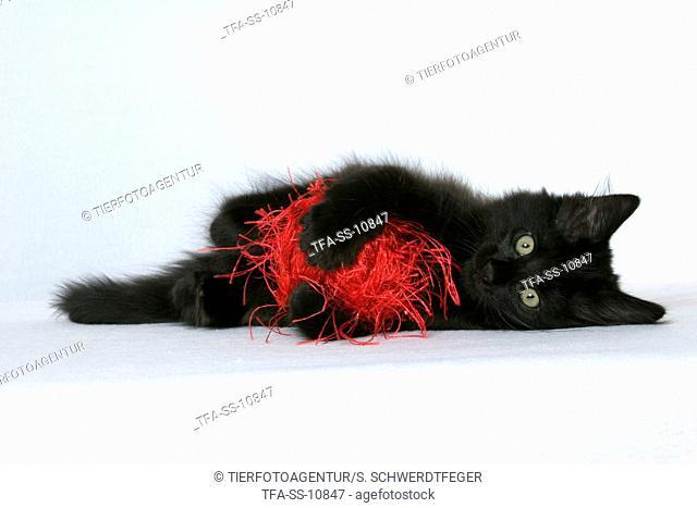 playing black Norwegian Forest Kitten