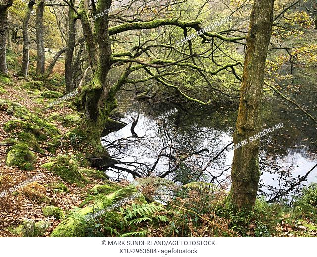Moss Covered Tree in Autumn by Guisecliff Tarn in Guisecliff Wood near Pateley Bridge Yorkshire England