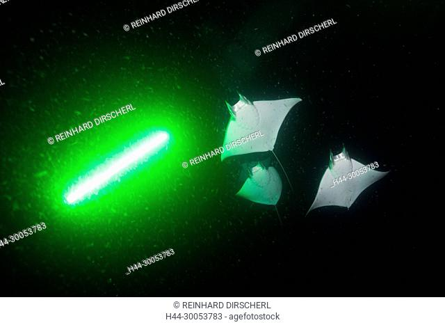 Munks Devil Ray feeding on plankton at night, Mobula munkiana, La Paz, Baja California Sur, Mexico