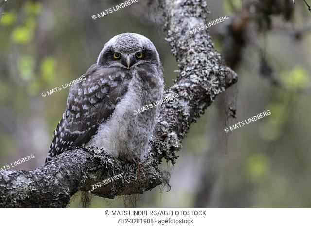 Juvenile Northern hawk-owl, Surnia ulula, sitting in a birch tree looking in to the camera, Gällivare county, Swedish Lapland, Sweden