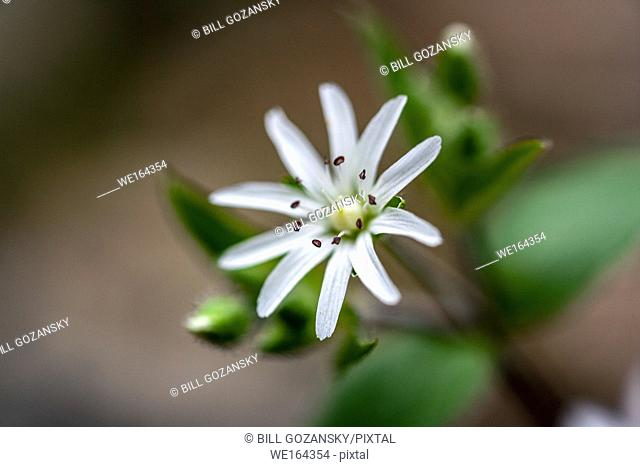 Star Chickweed (Stellaria pubera) - Coontree Trail - Pisgah National Forest, Brevard, North Carolina, USA