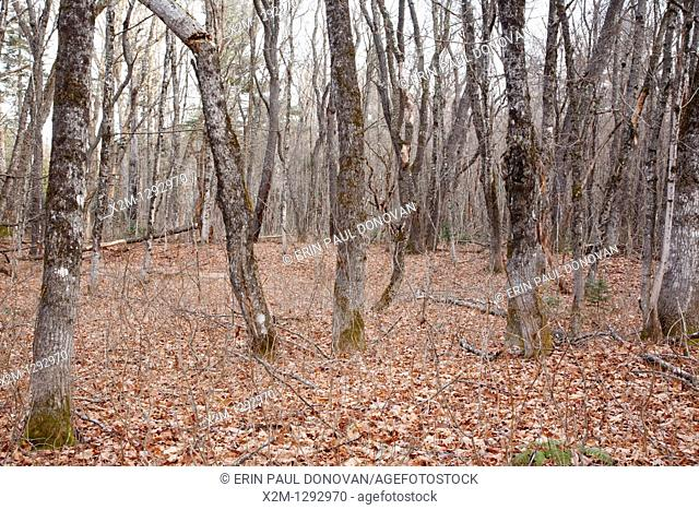 Swift River Railroad - Hardwood forest in the area of the old Passaconaway Settlement in Albany, New Hampshire USA  This was an logging railroad in operation...
