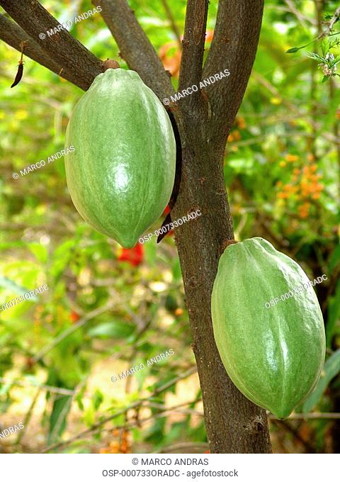 two cocoa cacao beans fruits on tree