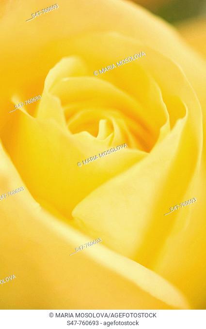 Yellow Rose Flower Close-up. Rosa hybrid. February 2008, Maryland, USA