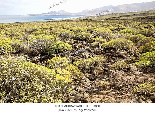 Euphorbia balsamifera Kleinia Nerifolia growing on lava flows Malpais de Corona, Lanzarote, Canary Islands, Spain