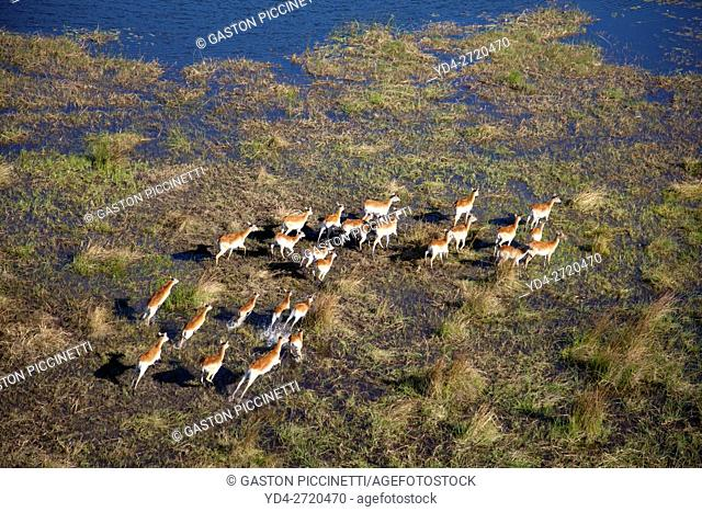 Aerial view of Red Lechwes (Kobus leche), running in the floodplain. Okavango Delta, Botswana. The Okavango Delta is home to a rich array of wildlife