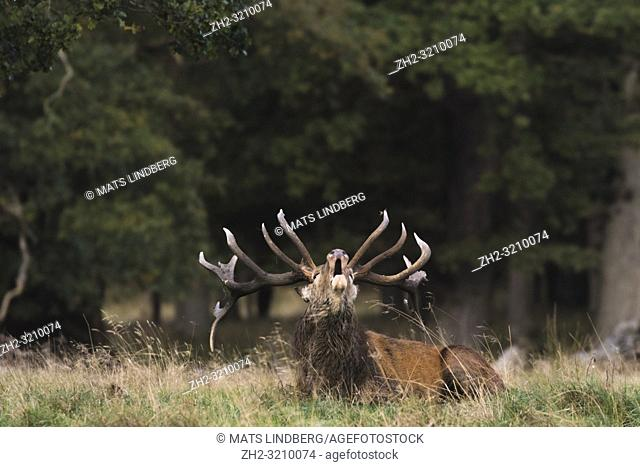 Stag lying down in the grass bellowing, Jaegersborg dyrehaven, Denmark