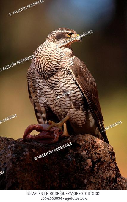 Goshawk (Accipiter gentilis) in the region of the Manchuela. Cuenca
