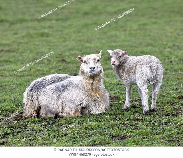 Ewe and lamb dirty from ash fall, Grimsvotn volcanic eruption, Iceland  Normally ewe has 2 lambs, but one died from ashfall  The eruption began on May 21