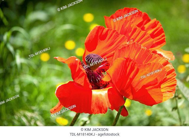 Oriental poppies in bloom