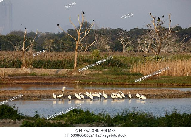 Black-faced Spoonbill (Platalea minor) flock, standing in shallow water at night roost site, Mai Po Marshes Reserve, New Territories, Hong Kong, China, December