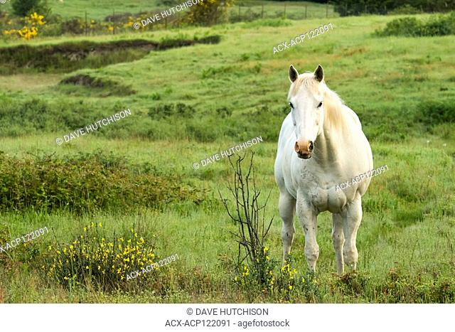 Horse in field (Equus ferus caballus), Whidbey Island, Washinton State, USA