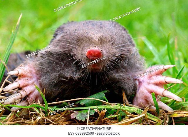 Close up of a European Mole (Talpa Europaea) with green background