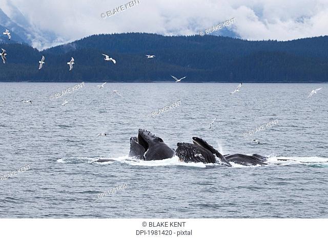humpback whales megaptera novaeangliae bubble net feeding, juneau alaska united states of america
