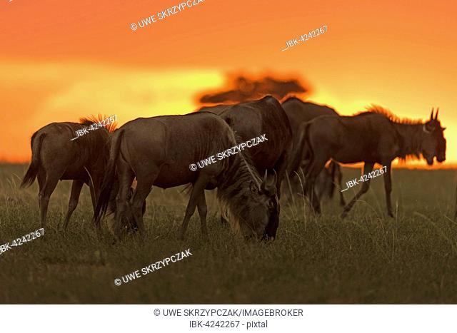 Gnus or Wildebeests (Connochaetes taurinus) at sunset, Maasai Mara National Reserve, Narok County, Kenya