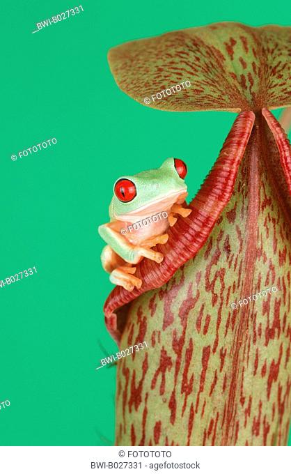 red-eyed treefrog (Agalychnis callidryas), on a tropical pitcher plant, Nepenthes