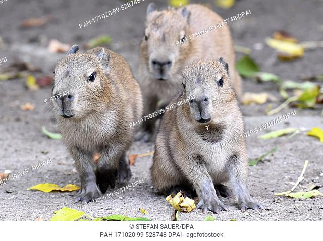 Three capybara babies, photographed during the first photo call at the zoo in Stralsund, Germany, 19 October 2017. The babies were born on 16 October at the...