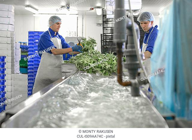 Workers washing herbs