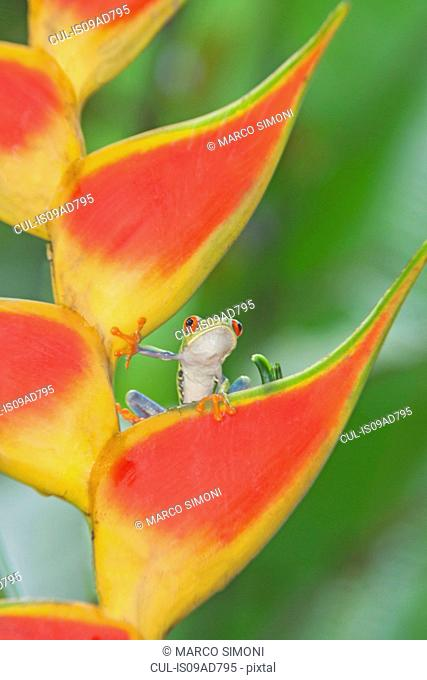 Red-eyed tree frog (Agalychnis callidryas) on colorful leaf, Costa Rica