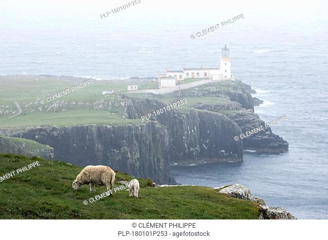 Sheep with lamb grazing on clifftop and Neist Point Lighthouse in the mist on the Isle of Skye, Inner Hebrides, Scottish Highlands, Scotland, UK