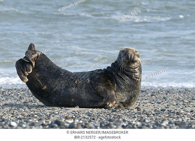 Grey Seal (Halichoerus grypus), male, Heligoland, Schleswig-Holstein, Germany, Europe
