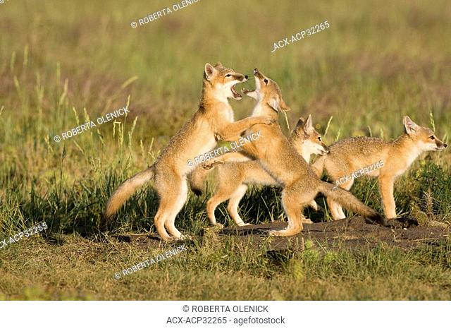 Swift fox Vulpes velox, kits playing at den, near Pawnee National Grassland, Colorado