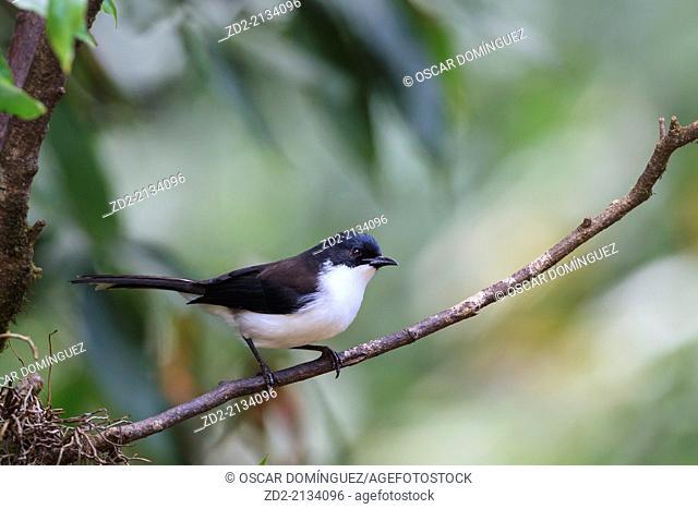 Dark-backed Sibia (Malacias melanoleucus) perched on branch. Doi Lang. Doi Pha Hom Pok National Park. Thailand