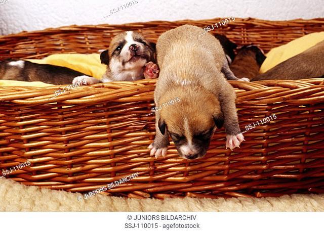 animal,dog,half-breed,puppy,11 days