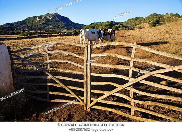 Cows in Cami d'en Kane. Monte Toro in background. Menorca. Balearic Islands. Spain