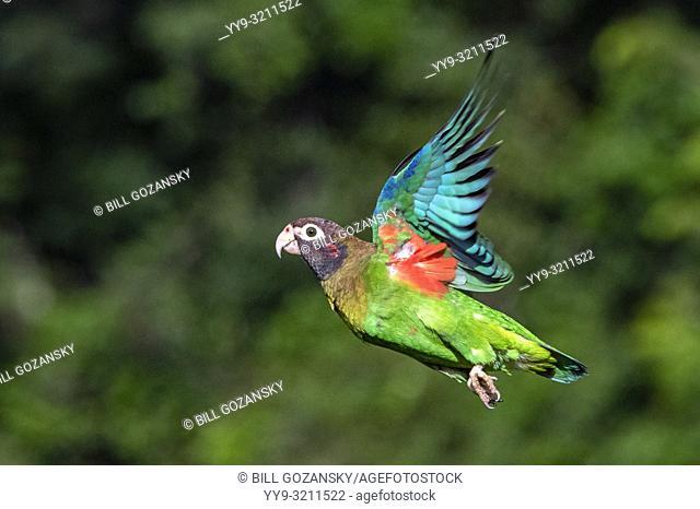 Brown-hooded Parrot (Pyrilia haematotis) in flight - La Laguna del Lagarto Lodge, Boca Tapada, Costa Rica