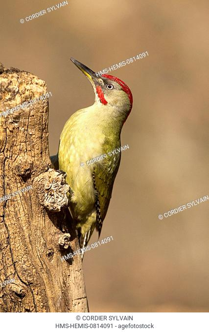 Spain, Catalonia, Lleida Province, Baen, European Green Woodpecker (Picus viridis), Adult male