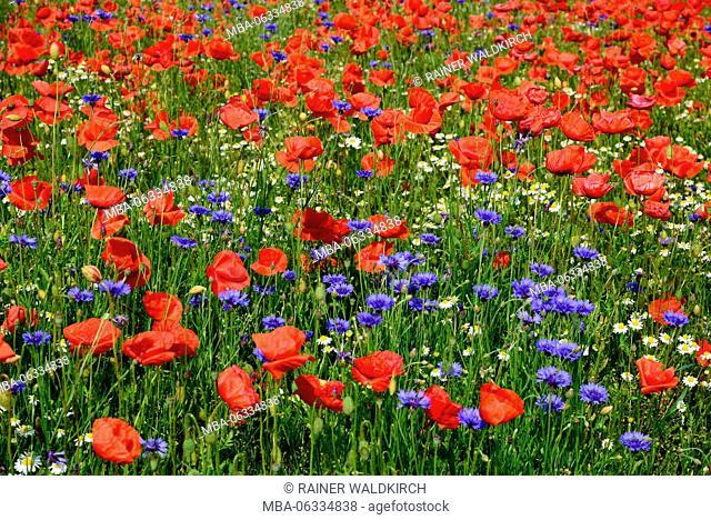 Europe, Germany, Mecklenburg-West Pomerania, poppy seed field and cornflowers at Göhren-Lebbin