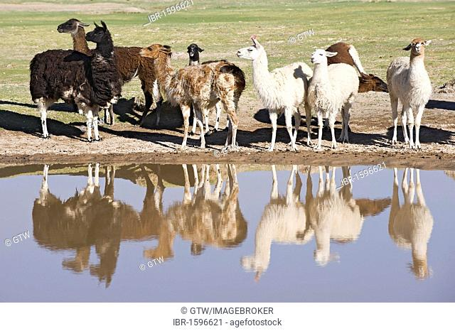 Llama herd reflecting in a pond, San Juan, Potosi, Bolivia, South America