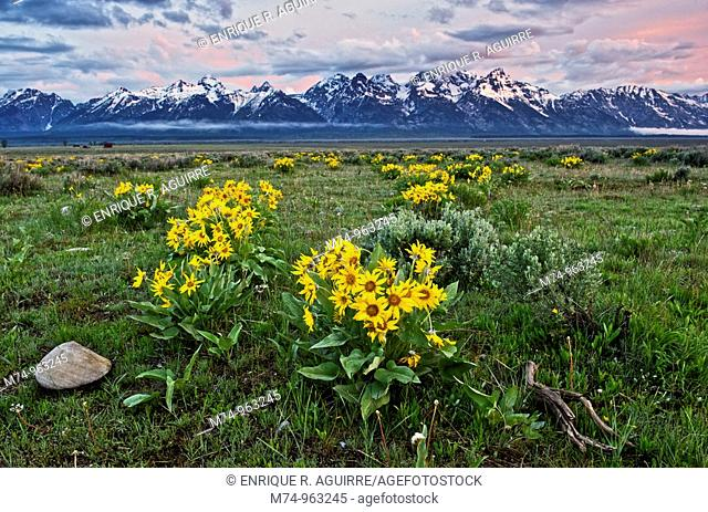 Wild flowers and mountains, Grand Teton National Park, Wyoming, USA