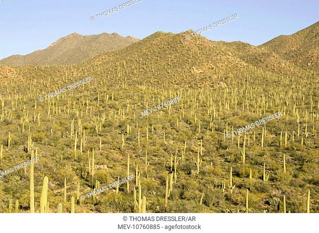 Giant Saguaro - Symbol of the American Southwest and indicator of the Sonoran Desert. (Carnegiea gigantea)