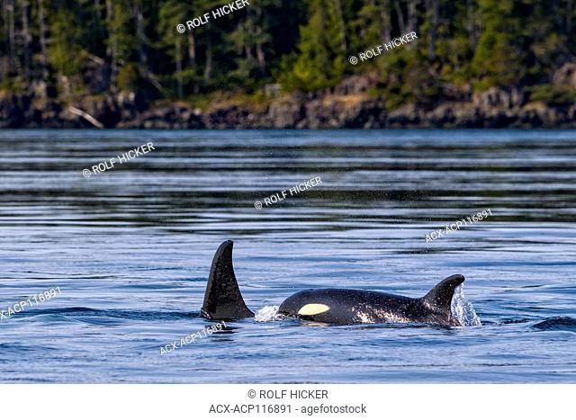 Northern resident killer whales traveling in front of Plumper Islands off Vancouver Island, British Columbi, Canada