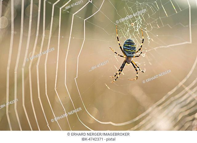 Wasp Spider (Argiope bruennichi), in spider web, Emsland, Lower Saxony, Germany