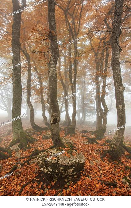 beech tree forest in autumn, Switzerland