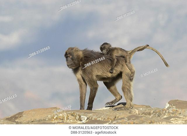 Africa, Ethiopia, Rift Valley, Debre Libanos, Gelada or Gelada baboon (Theropithecus gelada), dominant male with a female carrying a baby
