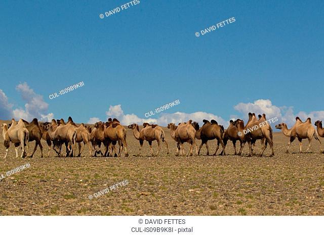 Herd of bactrian camels (camelus bactrianus) walking across desert landscape, Khovd, Mongolia