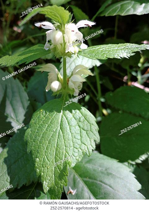 White dead-nettle (Lamium album). Catalonia, Spain