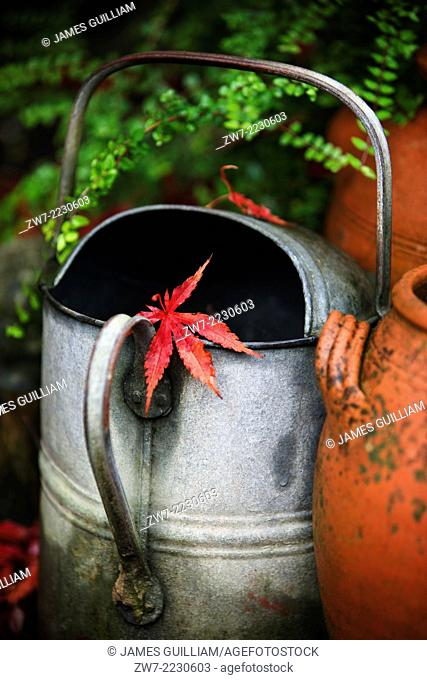 Weathered metal watering can with Acer palmatum leaf resting on handle