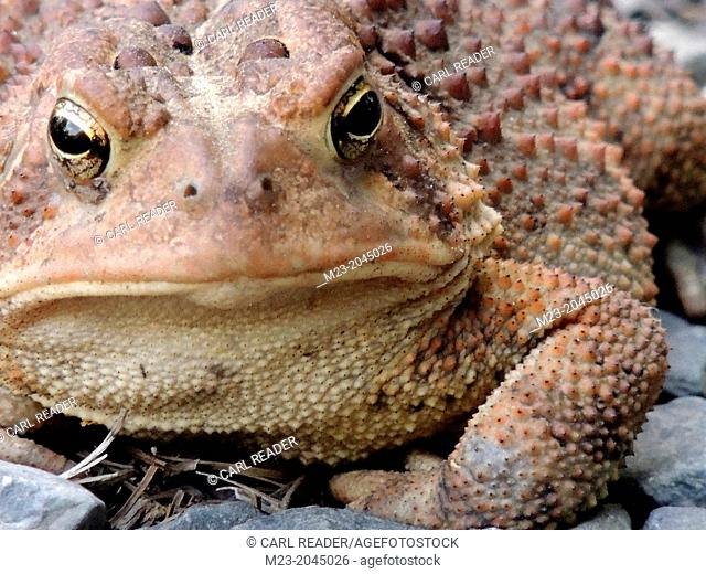 A toad wallows in his magnificent ugliness, Pennsylvania, USA