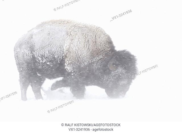 American Bison ( Bison bison ) during blizzard, rolling snow, pawing the snow, searching for food, Yellowstone NP, Wyoming,USA