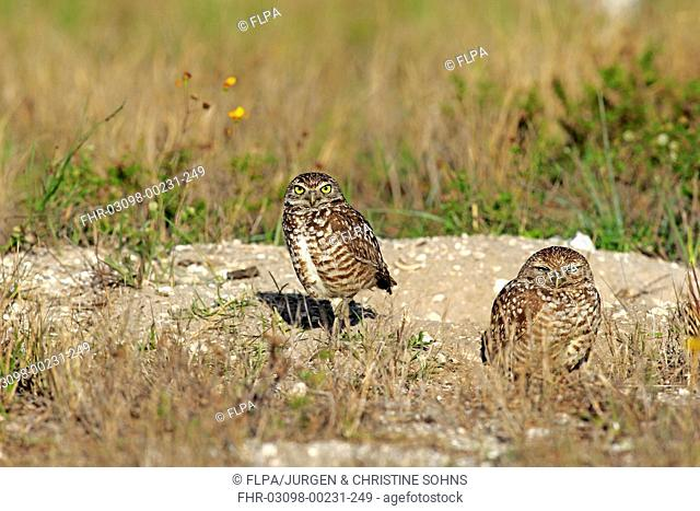 Burrowing Owl (Speotyto cunicularia) adult pair, standing beside burrow entrance, Cape Coral, Florida, U.S.A., March