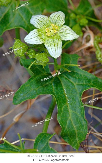 White Bryony (Bryonia dioica). Boí valley, Lleida province, Catalonia, Spain
