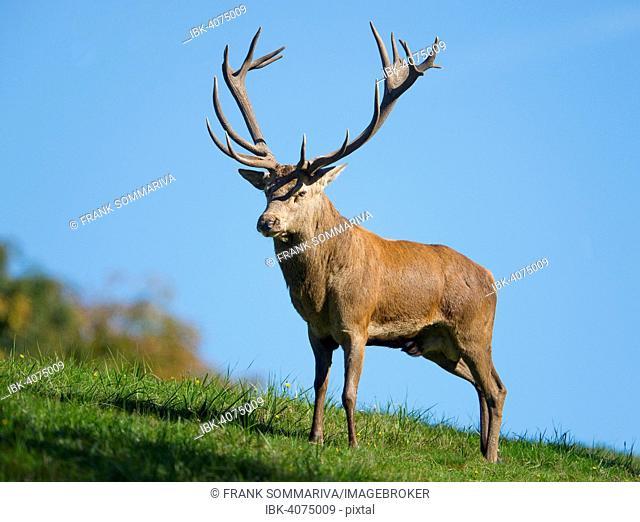 Red Deer (Cervus elaphus), stag, captive, Lower Saxony, Germany
